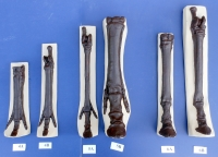 Horse Foot Evolution, fore & hind feet 12 piece set