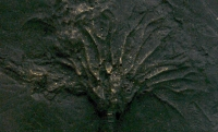 Pyritized Crinoid