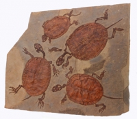 Manchurochelys liaoxiensis, 4  fossil turtle mortality plate