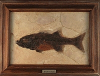 Mioplosus labracoides, Green River, fossil fish