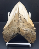 Massive 6 Inch Megalodon (Carcharodon megalodon) tooth, Black