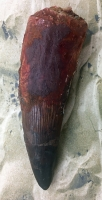 Giant Authentic Spinosaurus Dinosaur Tooth 5.30 Inches