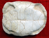 Stylemys nebrascensis, authentic fossil tortoice/turtle