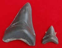 Megalodon Shark 46 Tooth Set