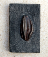 Iguanodon bernissartensis, tooth in matrix