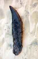 Tyrannosaurus rex, juvenile tooth with root