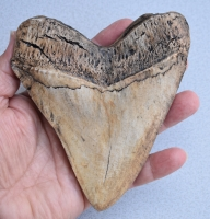 Megalodon (Carcharodon megalodon) tooth, ivory color