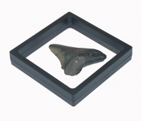 3D Floating Fossil Display Frames 2.75 x 2.75 Inch
