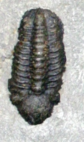Trilobite Composite Plate, 7 Species