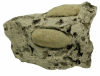 Allognathosuchus, alligator crocodylian eggs