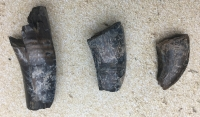 Daspletosaurus, 3 Authentic Dinosaur Teeth