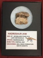 Authentic Hadrosaur Dinosaur Fossil Jaw Section
