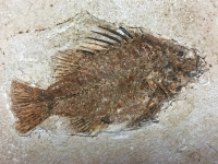 Priscacara, Authentic 5.75 Inch Green River Fossil Fish