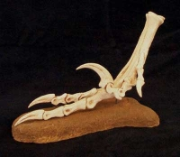Velociraptor mongoliensis, foot with killing claw