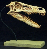 Velociraptor mongoliensis, skull, life-size AS SEEN ON TV