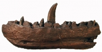 Megalosaurus Jaw & Teeth