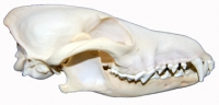 Canis latrans, coyote skull NEW LOWER PRICE