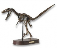 Velociraptor Skeleton Half Scale Model