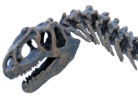 Allosaurus Skeleton 1:20 scale