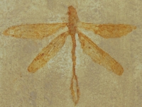 Protolindenia wittei, dragonfly, insect