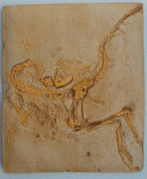 Compsognathus, skeleton