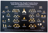 Dig A Real Shark Tooth