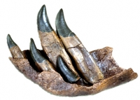 Tyrannosaurus rex Tooth Progression Partial Dentary