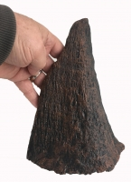 Coelodonta antiquitatis (small Woolly Rhino horn)