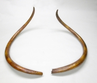 Mammoth Tusks, 7.5 feet around the curve
